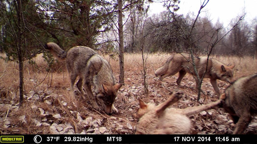 Wolf-pack-CEZ-MFDC0310