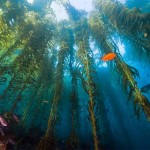 The Australian algae forests are in danger due to climate changes