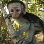 Vervet Monkeys reward the brave and punish the weak