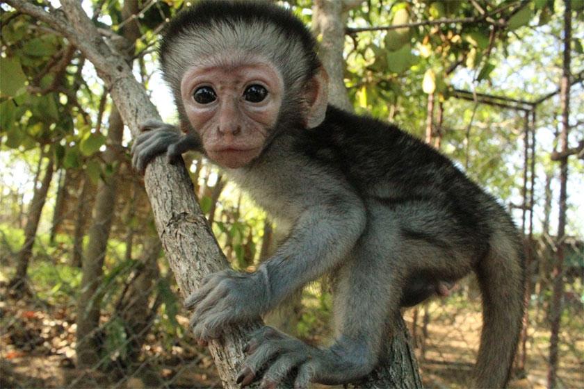 ververt-monkey