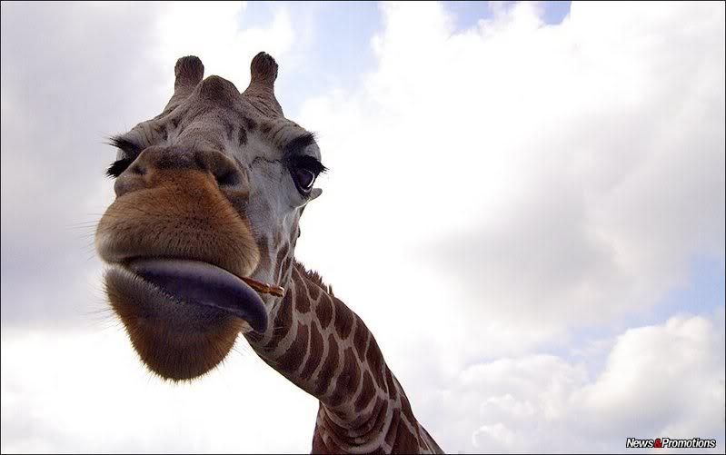 giraffe-danger-africa