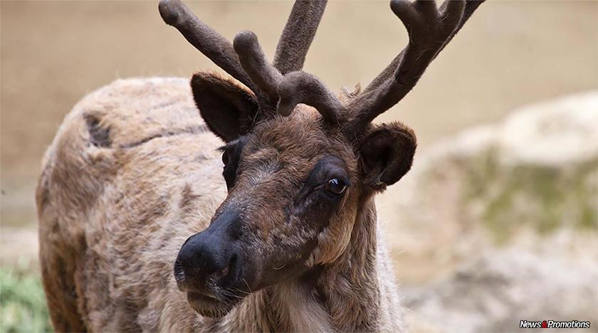 reindeer-weight-loss