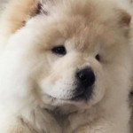 Justin Bieber abandoned his fourth pet, a chow-chow dog