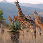 The giraffes in Africa cannot be saved because of the local conflicts