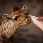 A Rothschild baby giraffe is born in a Zoo from the Great Britain