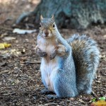 Ice Cream Loving Squirrel Puts around North Carolina