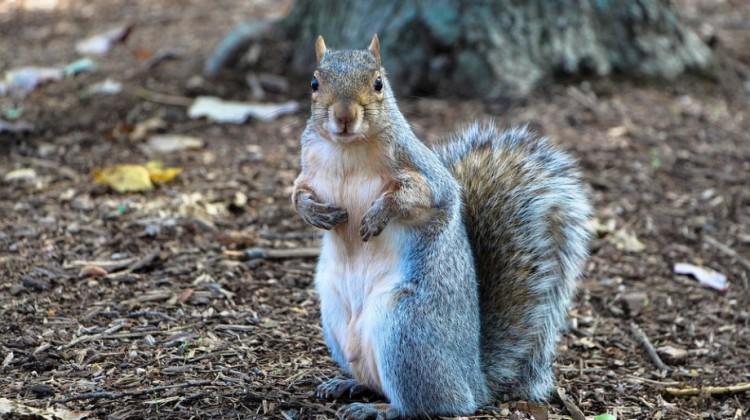 Ice Cream Loving Squirrel Puts around North Carolina