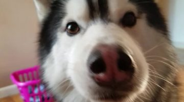 Mom asks Husky about Missing Shoe.. His Reaction on Tape!